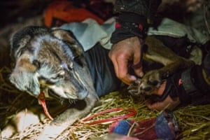 The dogs need protecting from the cold too. Musher Ken Anderson rubs ointment into the paws of one of his dogs at the Ruby checkpoint