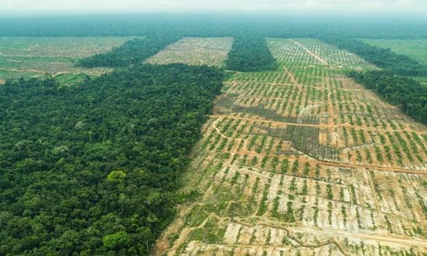 The massive Cacao plantation near Tamshiyacu, Peru.