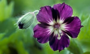 Perfect partner: the violet head of mourning widow (Cranesbill).