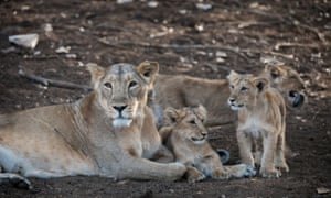 Asiatic lion (Panthera leo persica), female, lioness with her cubs, Gir Interpretation Zone or Devalia Safari Park, Gir Forest National Park, Gir Forest National Park, Gujarat, India, on 10 March 2015.