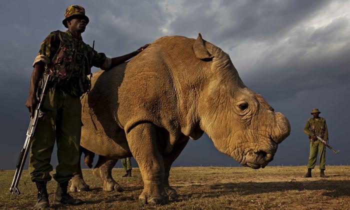 Sudan the last male northern white rhino