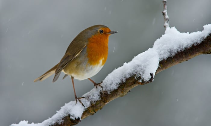 'Male robins will peck at rivals' napes to sever their spinal cords; 10% of all adult robin deaths are robin-on-robin, red-on-red incidents.' Photograph: Alamy
