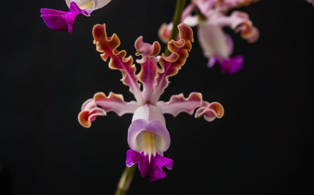 The banana orchid is threatened with extinction.