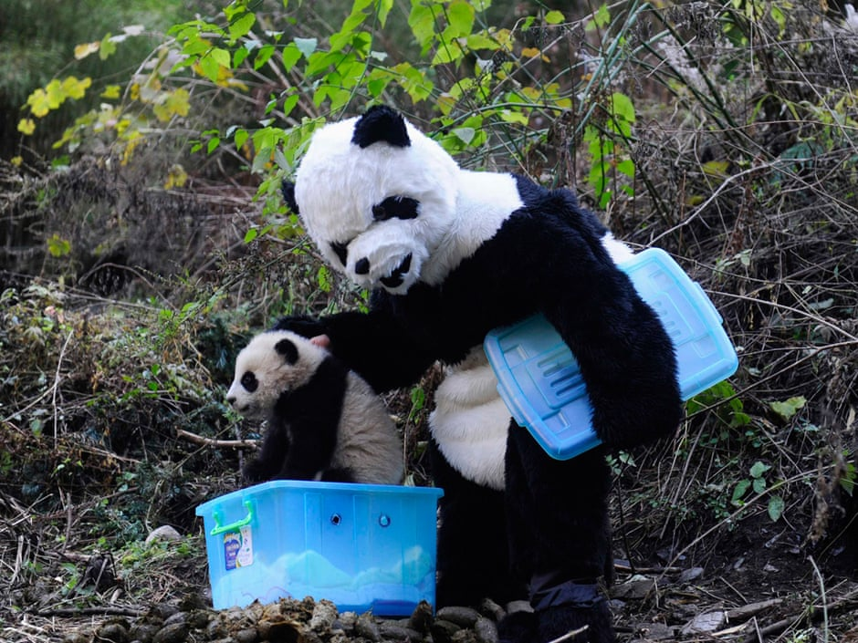 A Chinese researcher dressed in a panda costume