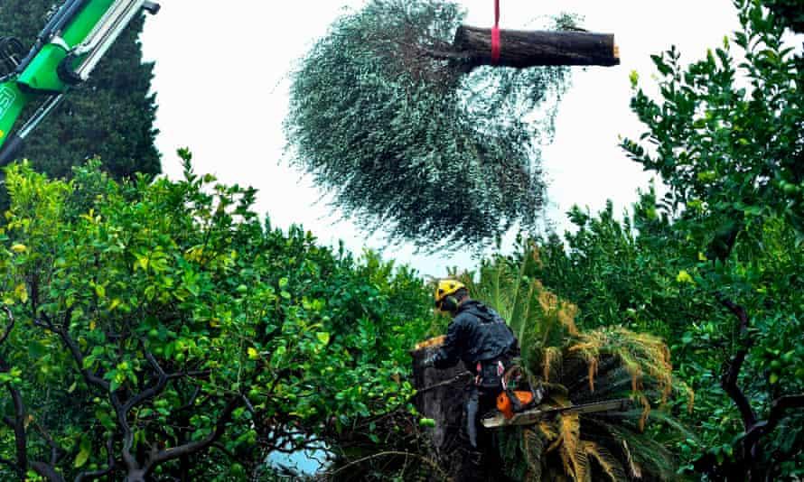 Felling olive trees