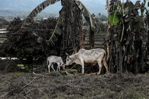 Cows search for fresh grass in ash-covered land near Taal Volcano in Talisay, Batangas
