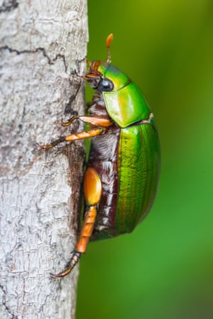 A Christmas beetle in Cow Bay, Australia.