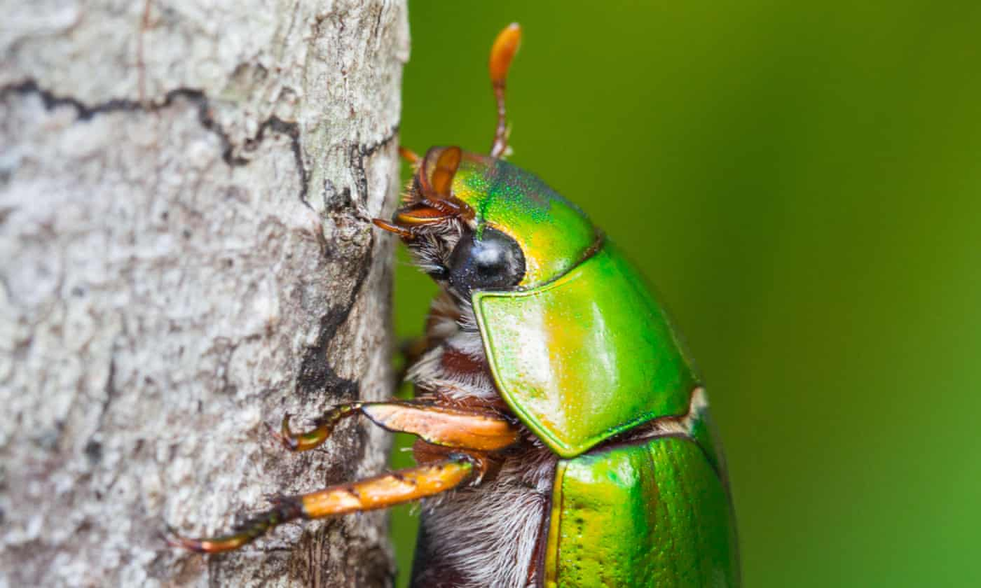 The humming of Christmas beetles was once a sign of the season. Where have they gone?