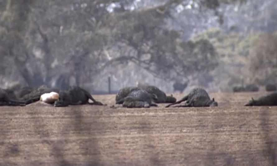 This image made from video shows dead kangaroos and sheep after bushfires hit Kangaroo Island, South Australia