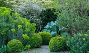 Topiary balls of box with cardoons behind and euphorbia.
