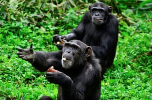 Chimpanzees at the Uganda Wildlife Conservation Education Centre 25 miles south of Kampala.