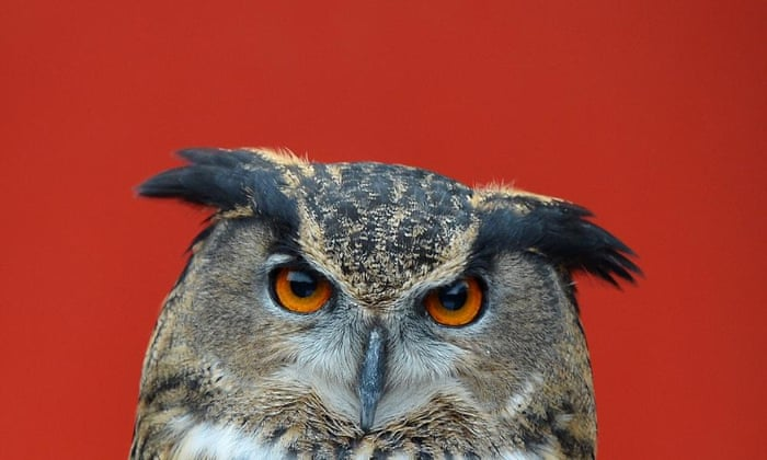 Owl attacks prompt Dutch town to arm itself with umbrellas