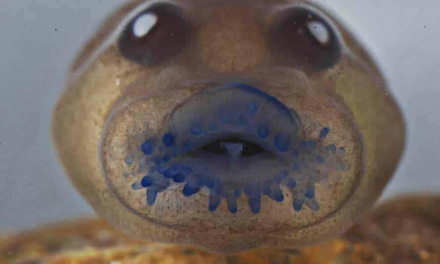 A tadpole of a frog named Frankixalus jerdonii, belonging to a newly found genus of frogs, as seen under microscope.
