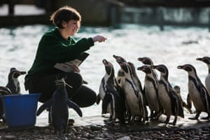 Keeper Janet Abreu waits for the penguins to line up at feeding time to do the headcount. There is one male Rockhopper penguin and 34 male and 37 female Humboldt penguins