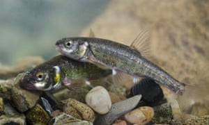 A pair of common minnows