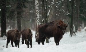 The last wild herd of bison in Europe roam the snowy Bialowieza forest.