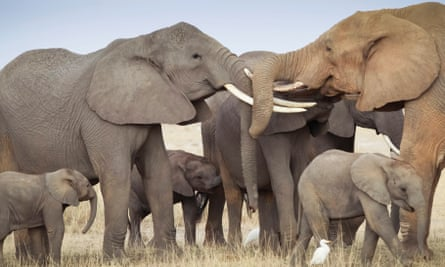Elephants locking tusks in Kenya