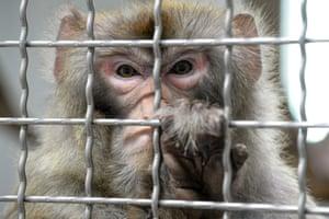 Nogent-le-Phaye, France A Rhesus macaque