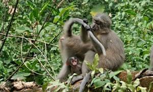 A adult Sanje mangabey monkey with baby in Udzungwa mountains national park, Tanzania.