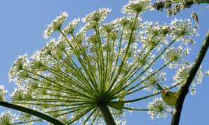 Giant hogweed outcompetes other plants.