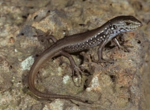 Mountain skink (Liopholis montana) in 2006 in Dargo High Plains in the Victorian alps, Australia. The hand-sized lizard lives in in the hilly regions that were badly burned during last summer's bushfires
