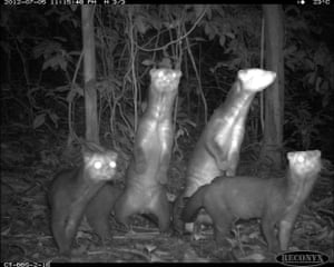 Palm civeto from Candid Creatures: How Camera Traps Reveal the Mysteries of Nature