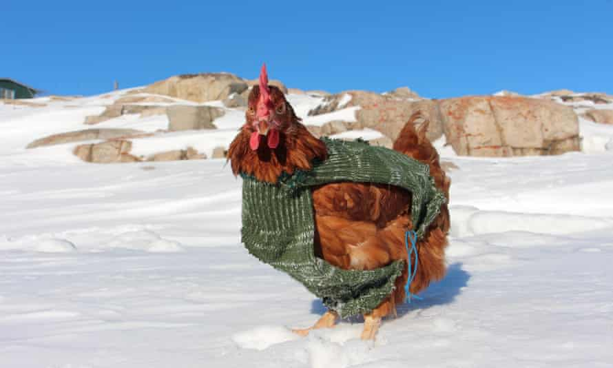 Best dressed chicken: Monique braves the Greenland cold in her jumper.