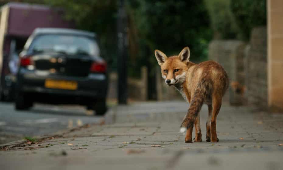 A fox will meet a human eye without flinching ...