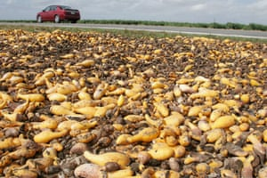 Squash left to rot in a field in Florida