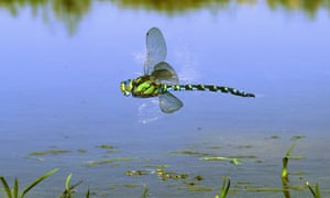 Male southern hawker dragonfly {Aeshna cyanea} male hovering over a pond.