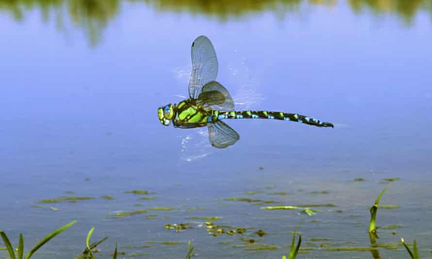 A male southern hawker dragonfly (Aeshna cyanea), one of a number of new species to migrate to the UK.