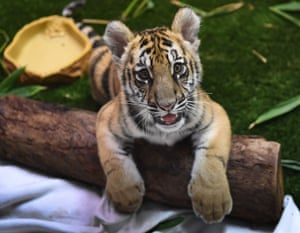A Bengal tiger cub smuggled into the US and seized at the Mexican border is displayed for the media during Operation Jungle Book at the US Fish and Wildlife Service in Torrance, California.