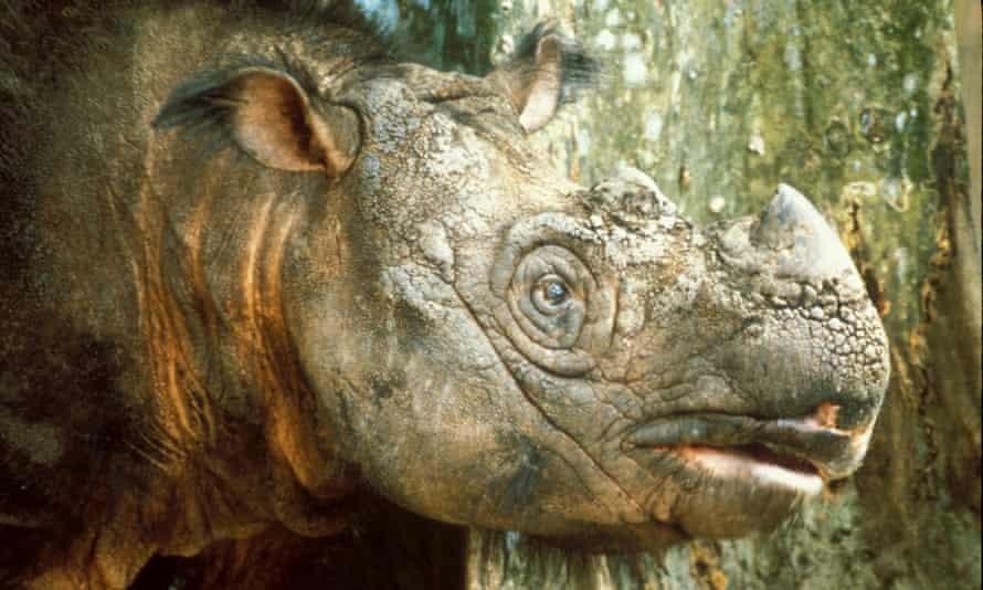 Tam, the Sumatran male rhino