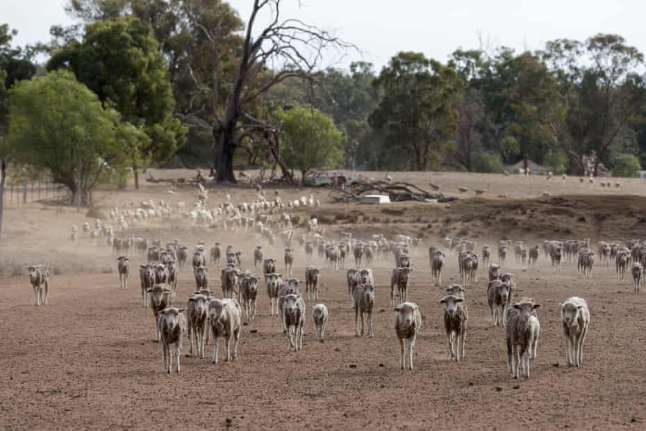 Sheep are fed on a mixture of Cotton Seed and expired baby food on the the Jerry family farm, Maryborough, 40km outside Coonabarabran.