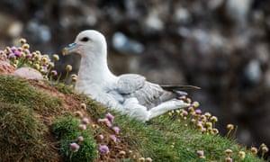 Fulmar boréal, Fulmarus glacialis, nidifiant en Écosse
