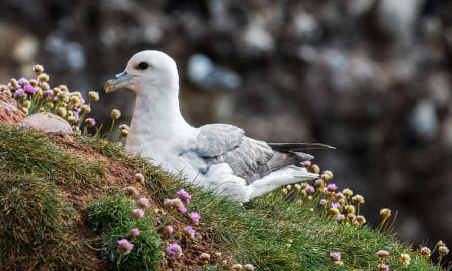 Northern fulmar, Fulmarus glacialis, nesting in Scotland