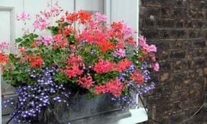 Window box filled with pelargoniums outside a house on Colebrooke Row in Islington, North London N1 England