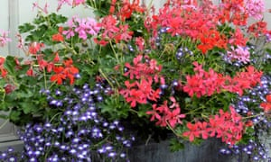 Window box filled with pelargoniums and lobelia