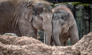 Asian elephants in the spotlight in The Secret Life of the Zoo.