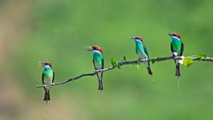 Blue-throated bee eaters in Xiexi village, China