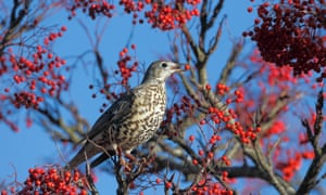 The mistle thrush, Turdus viscivorus, which gives its name to Paul Farley's fifth collection.