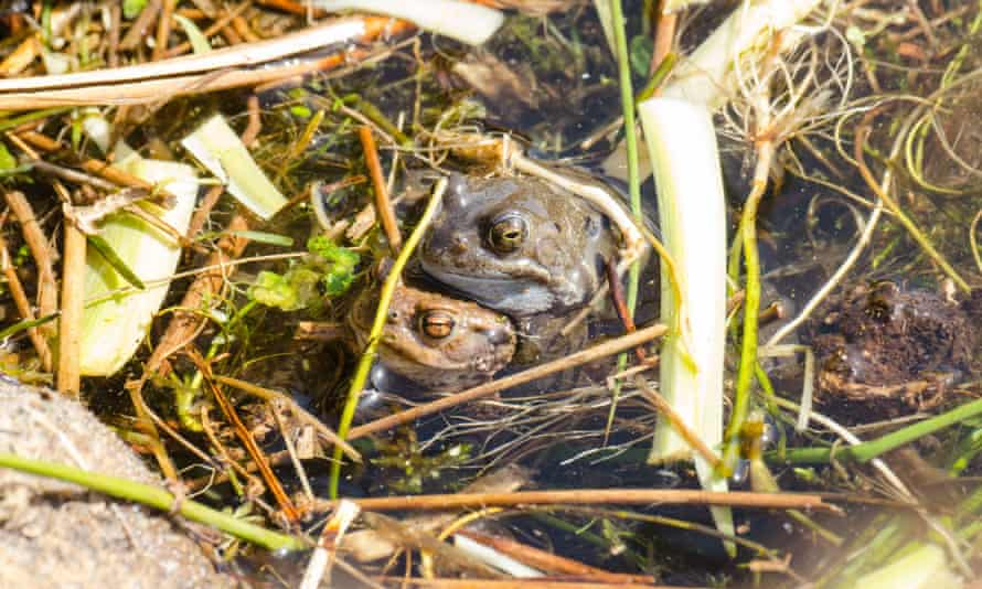 Mistaken identity: a male frog attempting to mate with a male toad.