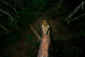 Signature tree by Alejandro Prieto, Mexico – from winning photo story Gunning for the Jaguar