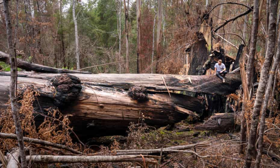 The Arve Giant near Geeveston, Tasmania, succumbed in the summer fires of 2019.