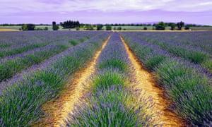 Lavender field, Grasse, Provence, France.