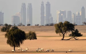 Arabian oryx - an antelope species that became extinct in the wild in the early 1970s, but has since been reintroduced - seen in the desert near Dubai, United Arab Emirates.