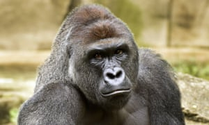 harambe the meme that refused to die technology the guardian