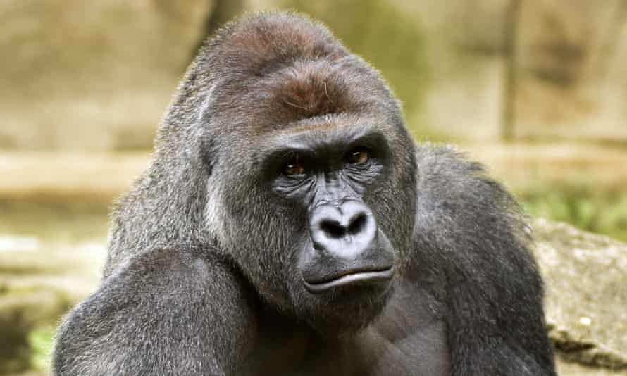 Harambe the gorilla, whose premature death became a meme which continues to flood Twitter feeds