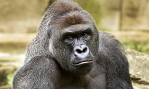 Harambe, the gorilla shot at Cincinnati zoo to protect a three-year-old boy who had entered its enclosure.