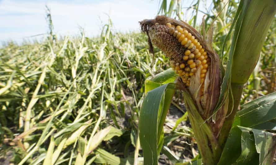 A cornfield damaged in the derecho is seen on the Rod Pierce farm, near Woodward, Iowa.